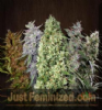 Ace Seeds Ace Mix Female 5 Marijuana Seeds